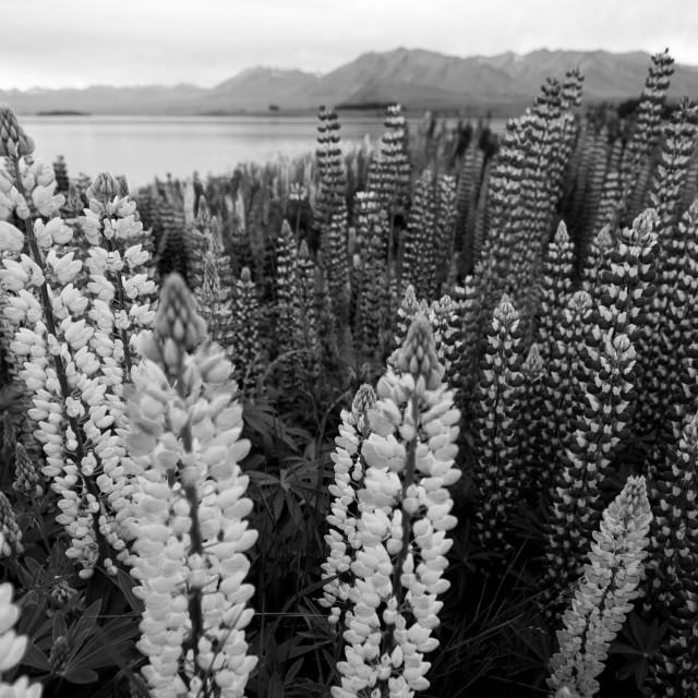 """""""Flowers at Lake Pukaki, New Zealand"""" stock image"""