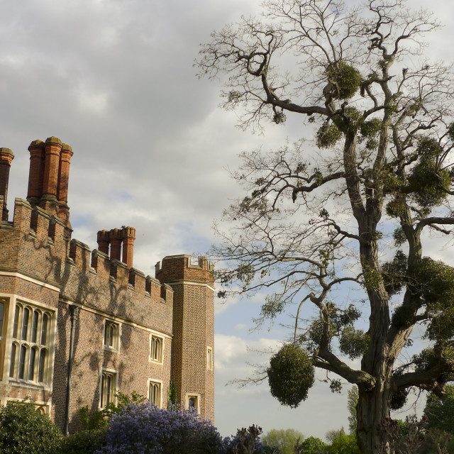 """Mistletoe encrusted tree at Hampton Court Palace"" stock image"