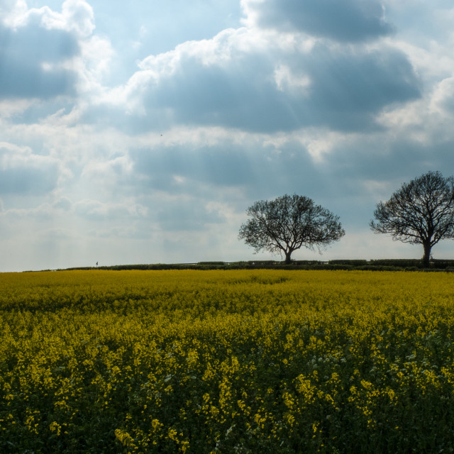 """Trees on the horizon, oil seed rape and fingers of god (light rays)"" stock image"