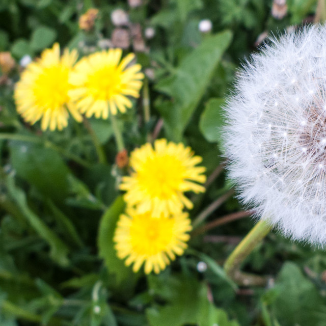 """Detail of a dandelion"" stock image"