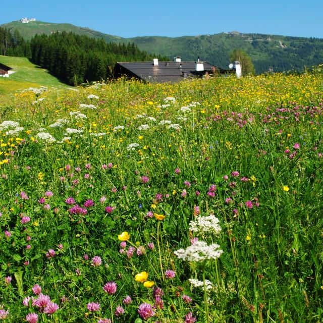 """Alpine meadow"" stock image"