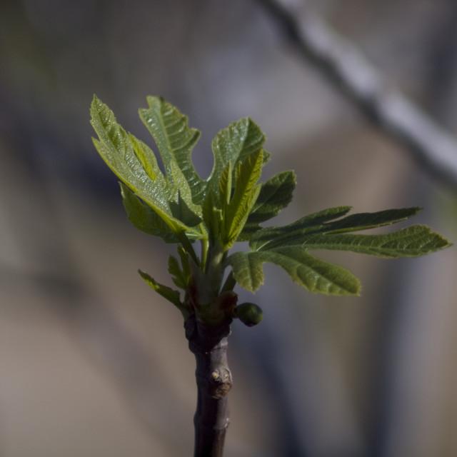 """Mediterranean fruit-fig"" stock image"