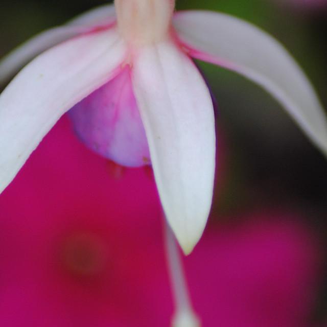 """Fuchsia"" stock image"