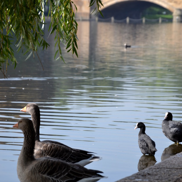 """The Geese of Hyde Park"" stock image"