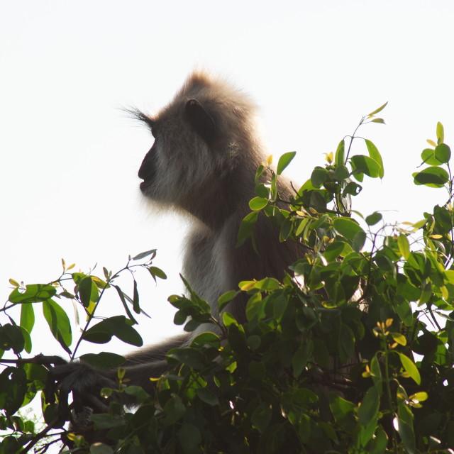 """""""treetop monkey"""" stock image"""
