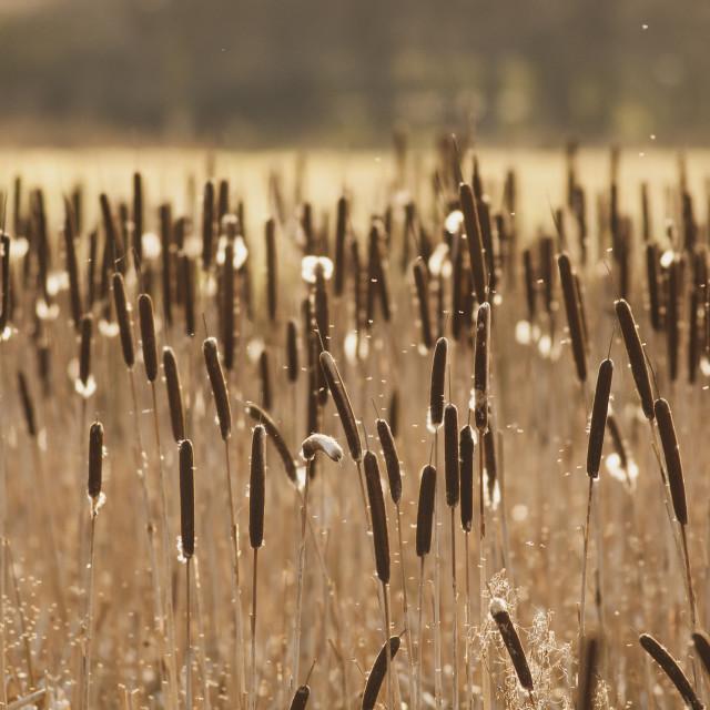 """Springtime Reeds"" stock image"