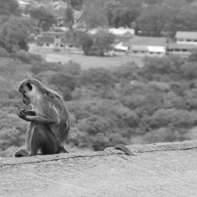 """Sri Lanka - Monkey@Mihintale temple"" stock image"