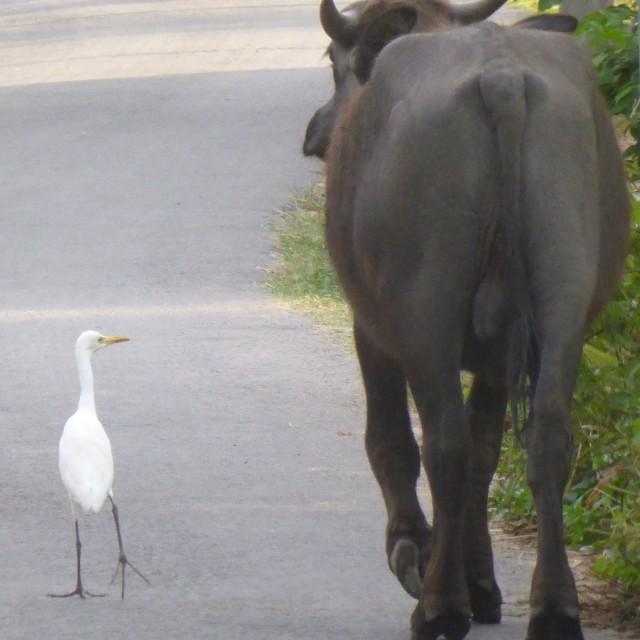 """Sri Lanka - bird and buffalo@Unawatuna"" stock image"