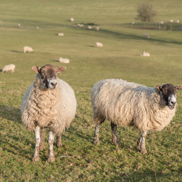 """""""herd of sheep on hill farm"""" stock image"""