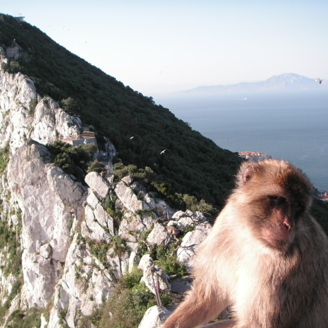 """Barbary Monkey Gibraltar"" stock image"