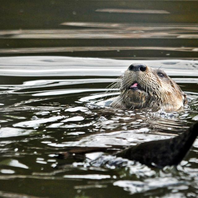 """Otter"" stock image"