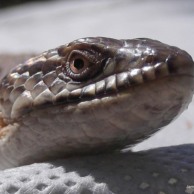 """""""Lizard Eye."""" stock image"""