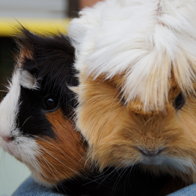 """Guinea Pigs"" stock image"