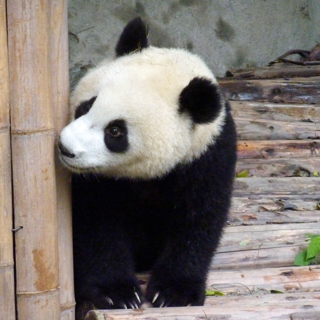 """Peeking panda"" stock image"