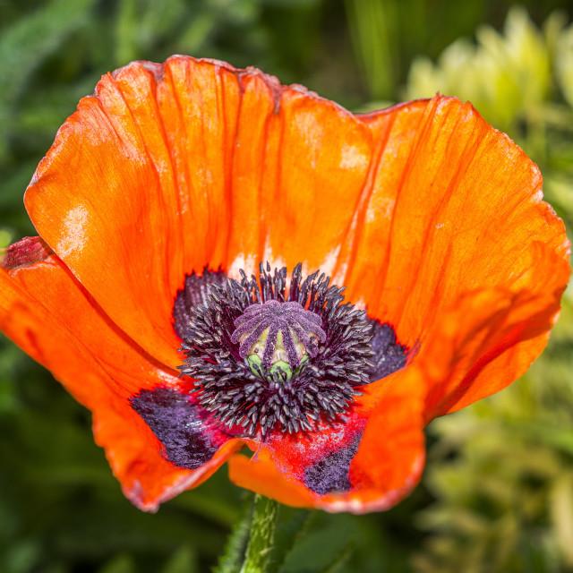 """""""Poppy Flower"""" stock image"""