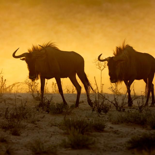 """Blue wildebeest in dust"" stock image"