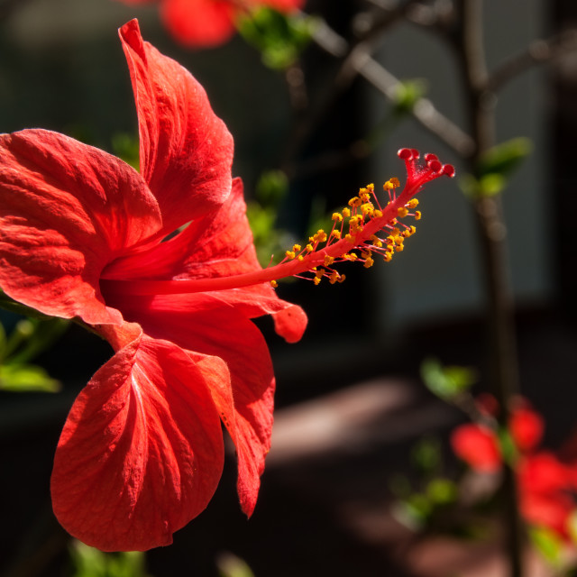 """Red Hibiscus Flower"" stock image"