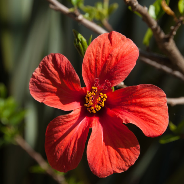 """Red Hibiscus in Flower"" stock image"
