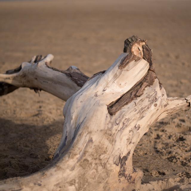 """""""Driftwood (upright)"""" stock image"""