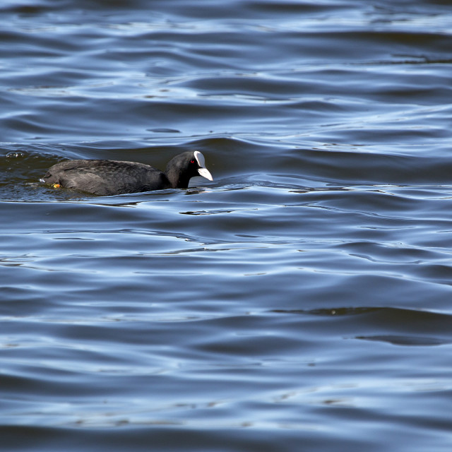 """""""Coot in rough water"""" stock image"""