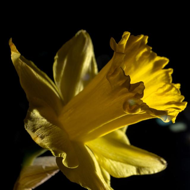 """Daffodil"" stock image"