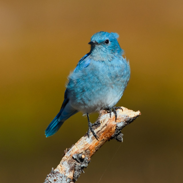 """Mountain Bluebird"" stock image"