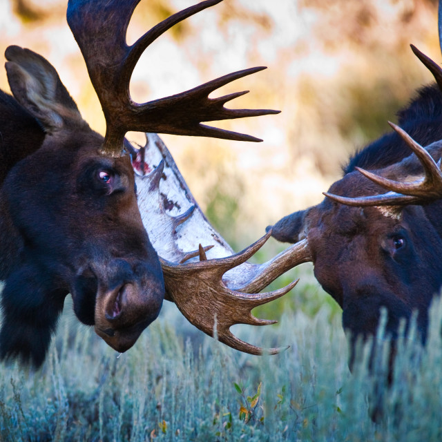"""Moose Fight"" stock image"