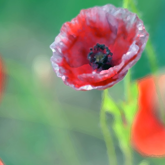 """Poppy Dreams"" stock image"