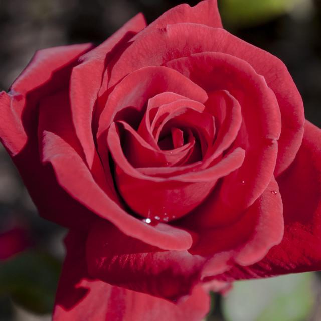 """Dewey Rose"" stock image"