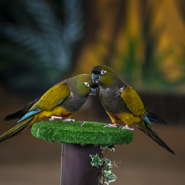 """Lovebirds"" stock image"