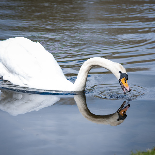 """Swan reflection"" stock image"