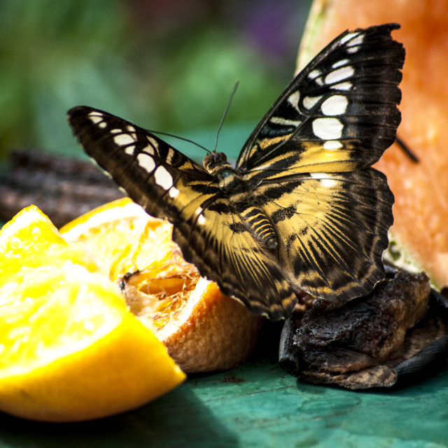 """Yellow and brown butterfly"" stock image"