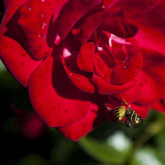 """Wasp vs Fly"" stock image"