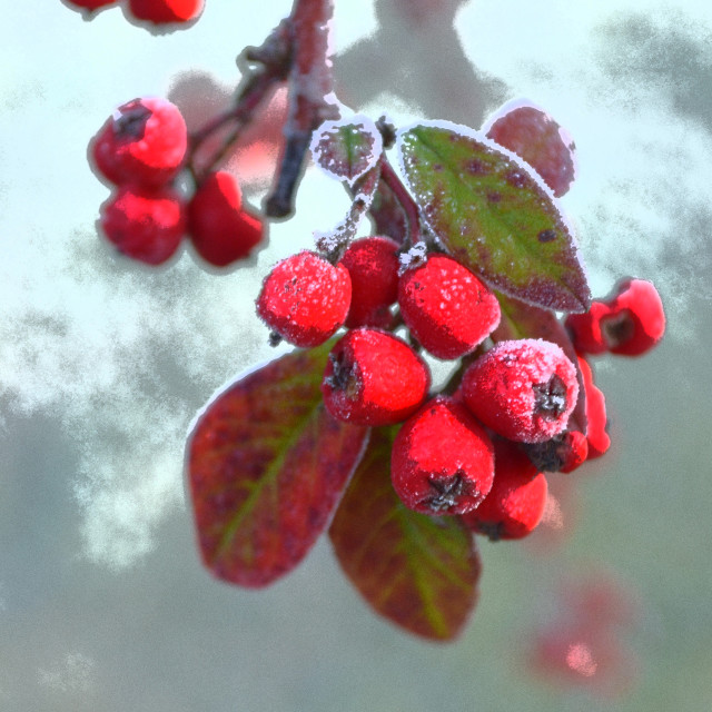 """Frosted Red Berries"" stock image"
