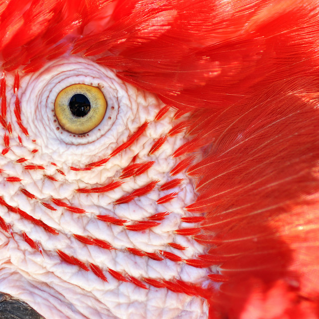 """Closeup of a Scarlet Macaw"" stock image"