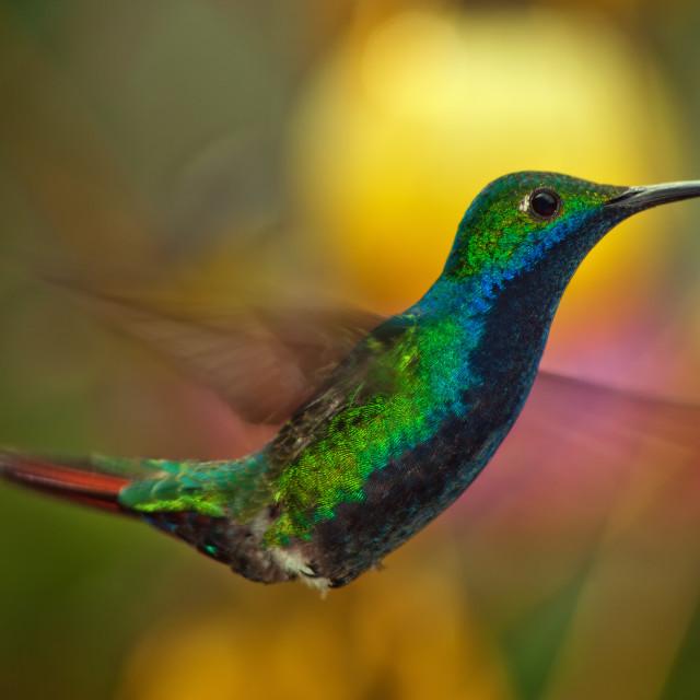 """Closeup of a Hummingbird in Flight"" stock image"