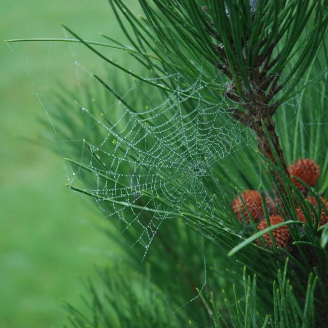 """Cobweb on Pine tree"" stock image"