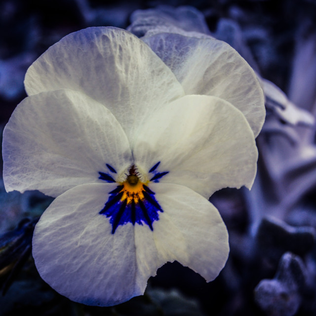 """Winter Pansy"" stock image"