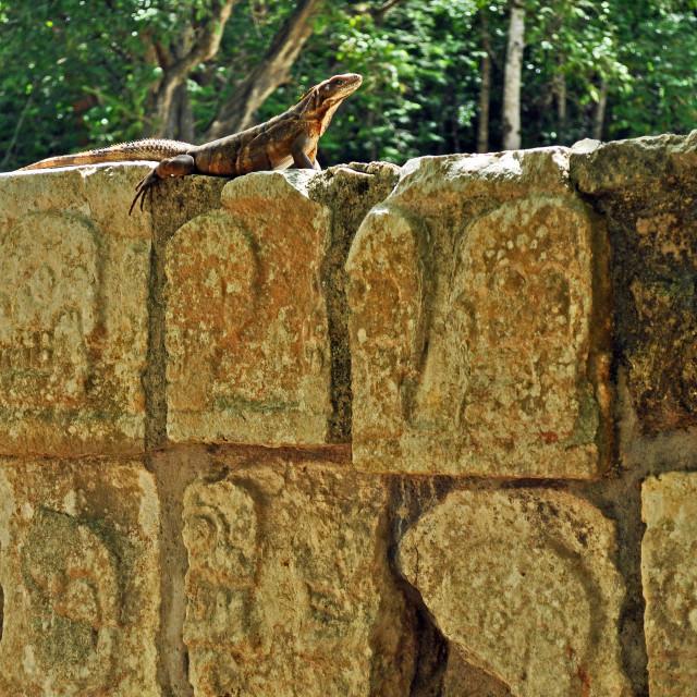 """""""Iguana basking"""" stock image"""