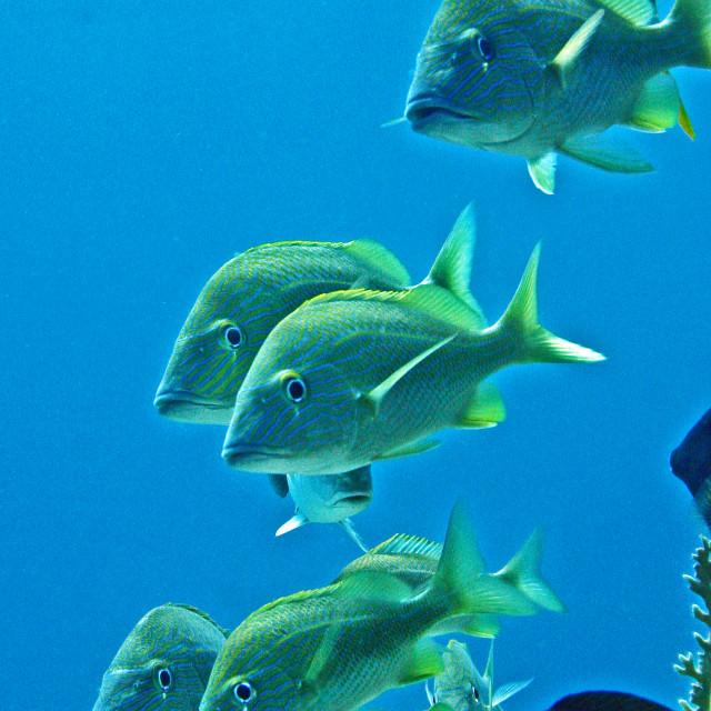 """""""Caribbean reef fish"""" stock image"""