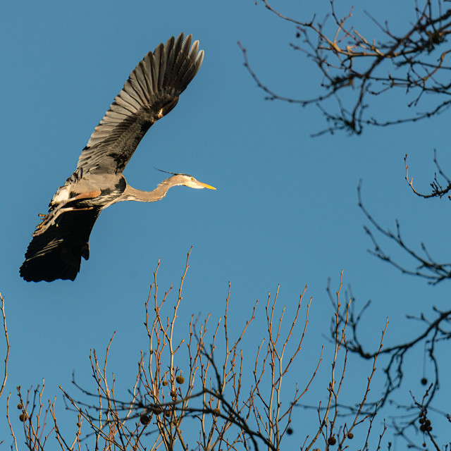 """Great Blue Heron on final"" stock image"