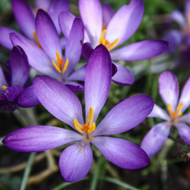 """Spring crocuses (2)"" stock image"