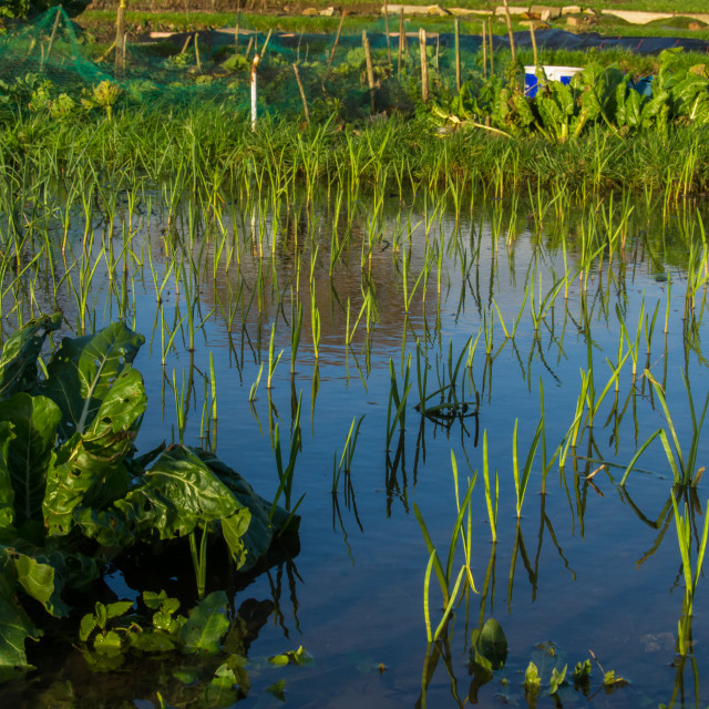 """Flooded Allotment"" stock image"