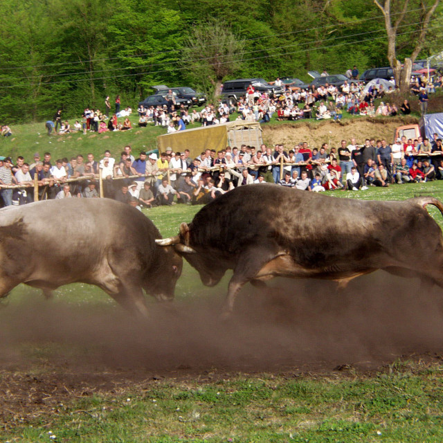 """Bosnian bullfights"" stock image"