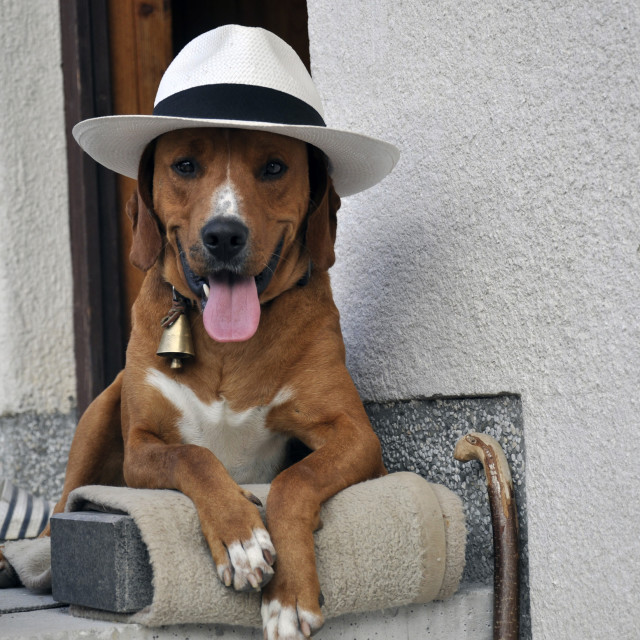 """hat and dog"" stock image"