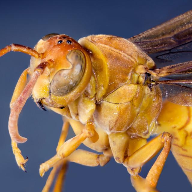 """Macro Hornet"" stock image"