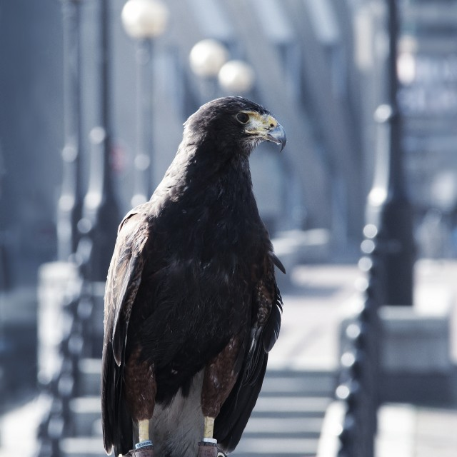 """Hawk"" stock image"