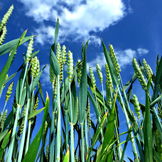 """Corn Growing under blue Sky (upright)"" stock image"