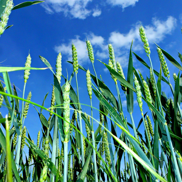 """Corn Growing under blue Sky (wide)"" stock image"