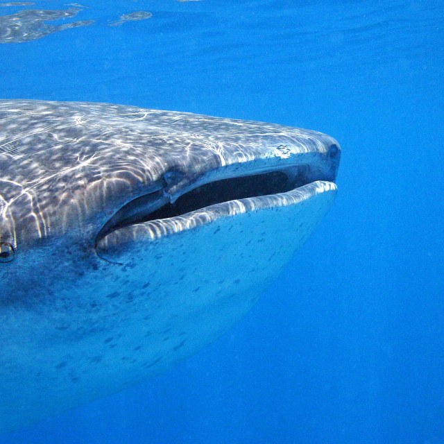 """Whaleshark"" stock image"